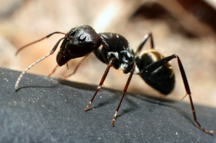 How Long Can Carpenter Ants Live Without Food
